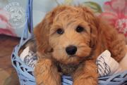 Labradoodles Playground Bamse at Tove's